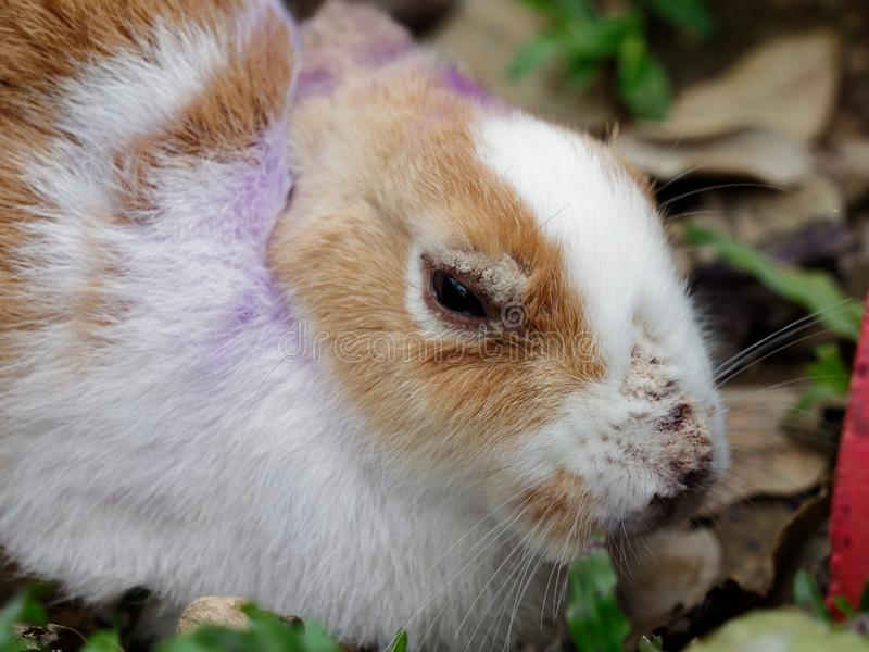 Sick rabbit with fur loss and skin problem on ears, nose, and eyes. With concept of animal health, infection, and disease royalty free stock images