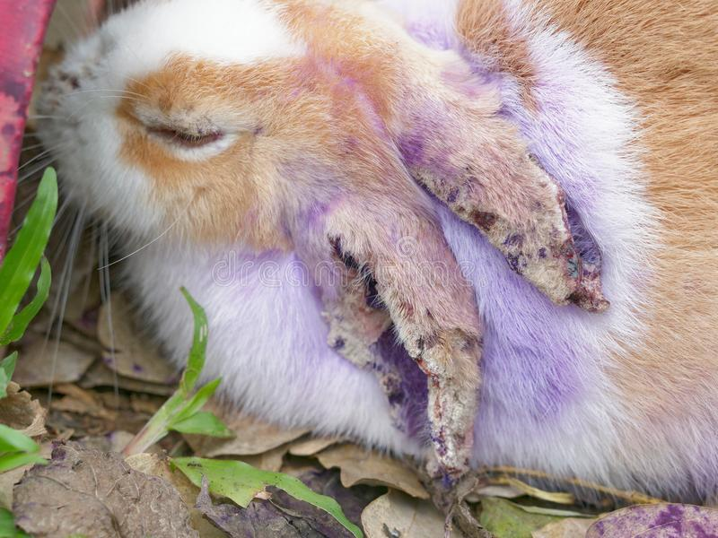 Sick rabbit with fur loss and skin problem on ears, nose, and eyes. With concept of animal health, infection, and disease stock photos