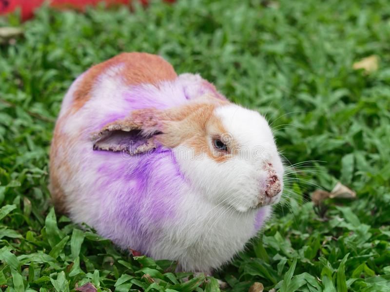 Sick rabbit with fur loss and skin problem on ears, nose, and eyes. With concept of animal health, infection, and disease stock images