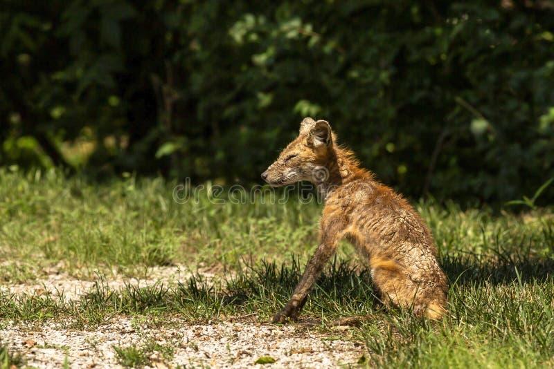 Sick red fox sitting in the sun stock photo