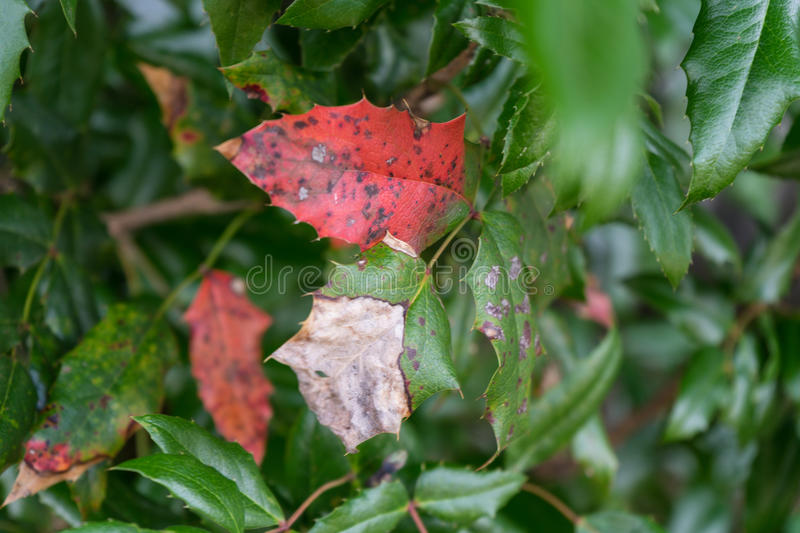 Sick red plant leaf close up. Red plant leaf close up having sickness royalty free stock photos