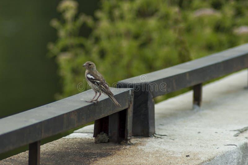 Sick sparrow bird on the fence in dam or reservoir Dushantsi at river Topolnitsa, Central Balkan mountain, Stara Planina. Bulgaria royalty free stock image
