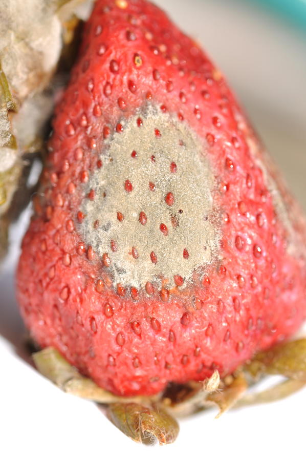 Sick strawberry. A diseased (grey mold) sick strawberry royalty free stock image
