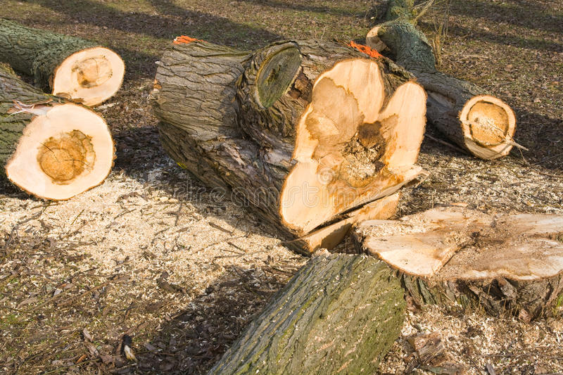 Sick tree felled stock photography