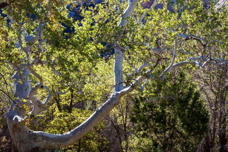Sicomoro di Arizona in montagne del Chiricahua dell'Arizona fotografie stock