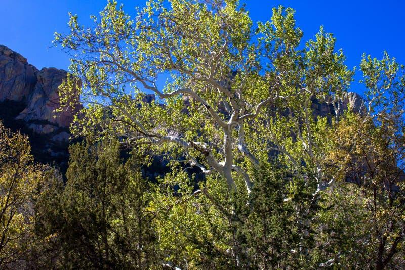 Sicomoro di Arizona in montagne del Chiricahua dell'Arizona fotografia stock