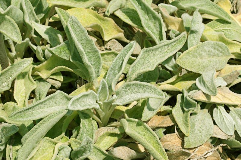 Sida av grön och gul lambs öraväxter royaltyfri bild