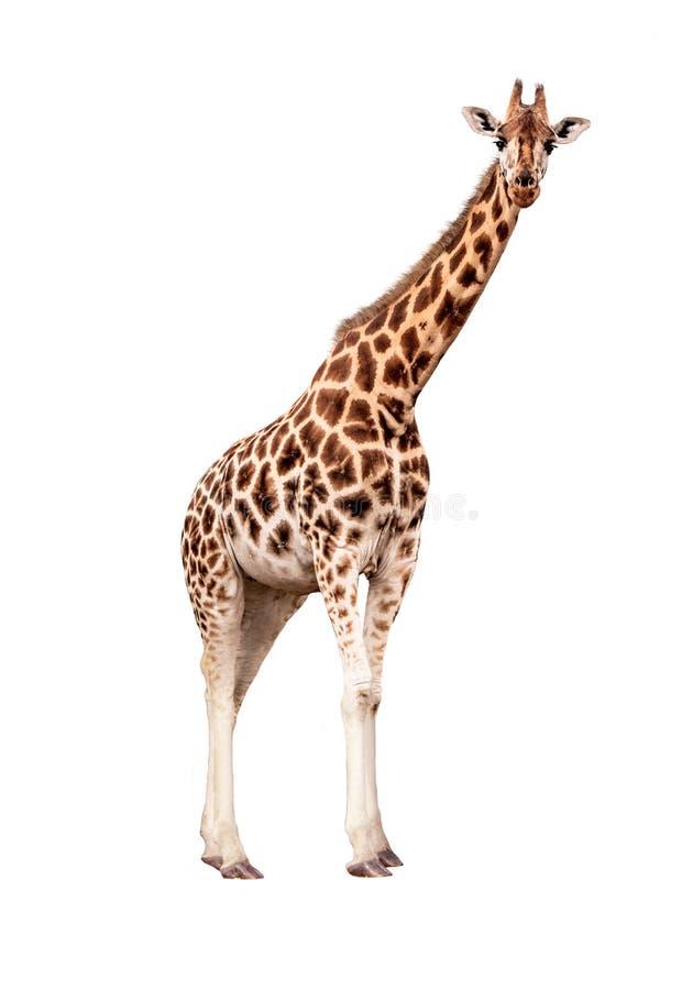 Sida för Rothschild girafffasadbeklädnad som ser utdraget framåt royaltyfria foton