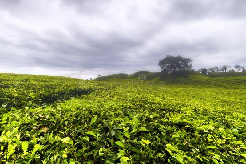 Sidamanik del jardín de té, utara del sumatera foto de archivo
