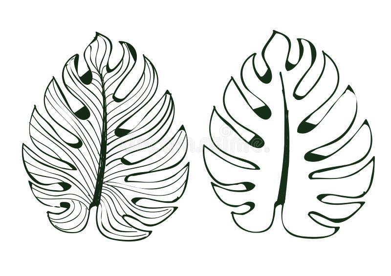 Sidamonsteraen används i designer på den vita fodrad modellillustratör eps 10 för bakgrund isolaten royaltyfri illustrationer