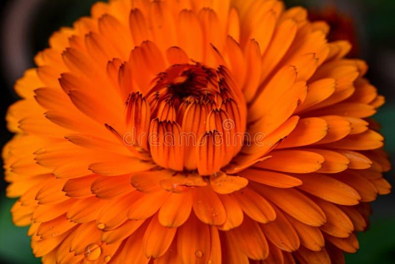 Beautiful orange color Calendula flower royalty free stock image