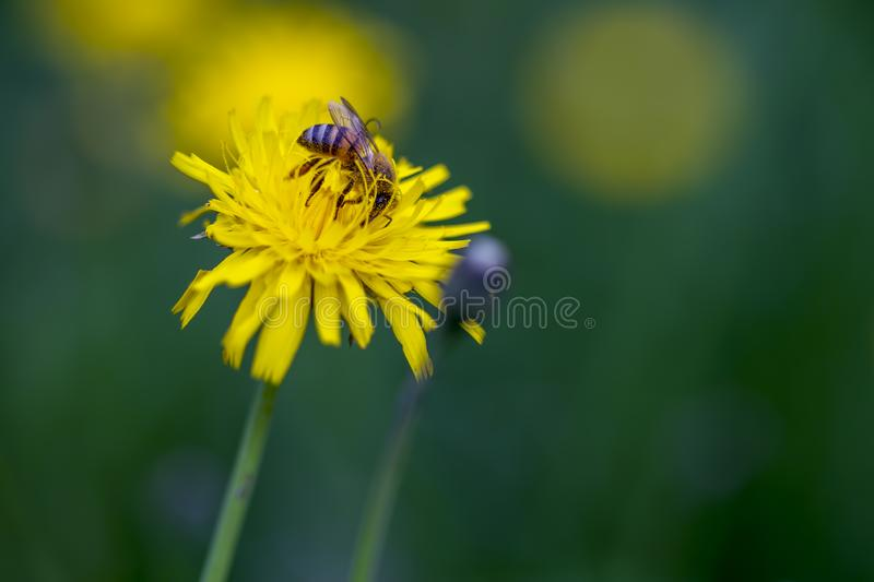 Side of a bee feeding on a dandelion flower stock photos