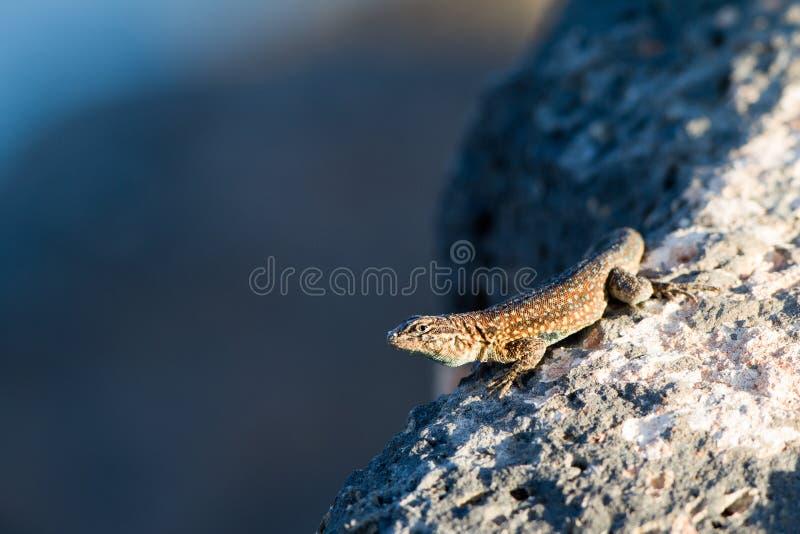 Download Side-blotched Lizard, Uta Stansburiana Stock Photo - Image: 25097420