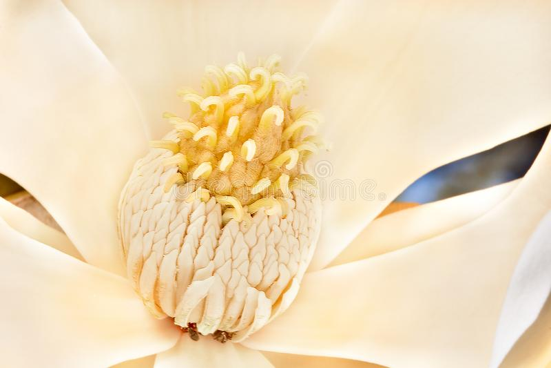 Side close up image of a magnolia stigma stock images