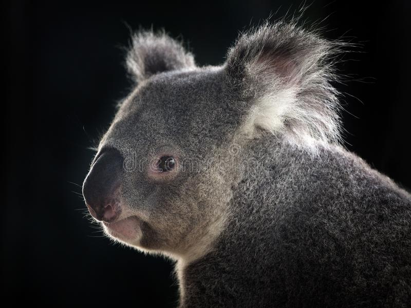 Side face of a koala. royalty free stock photo