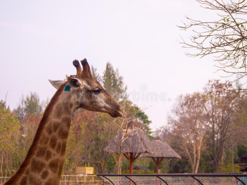 Side head giraffe close up in zoo have tag on them ear can see beautiful pattern texture fur on neck royalty free stock image
