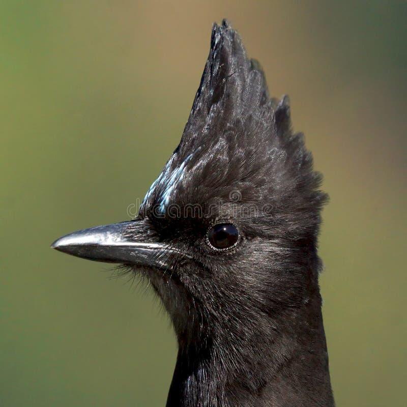 Close Up Head Shot of a Blue Steller`s Jay Bird stock photography