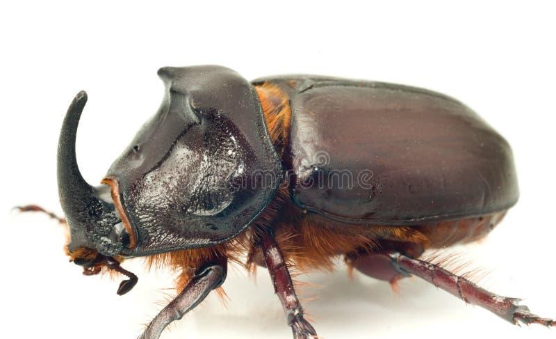 Side Macro view of rhinoceros or unicorn beetle royalty free stock images