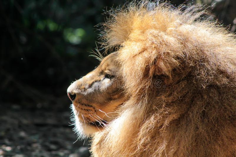 Side portrait of a big male African Lion Panthera leo. royalty free stock photos