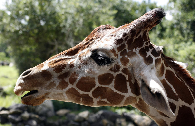 Download Side portrait of giraffe stock photo. Image of view, background - 20822416