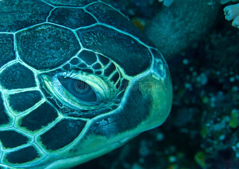 Side portrait of a green sea turtle Chelonia mydas resting on coral reef of Bali, Indonesia. Closeup of a green sea turtle Chelonia mydas resting on coral reef stock photos