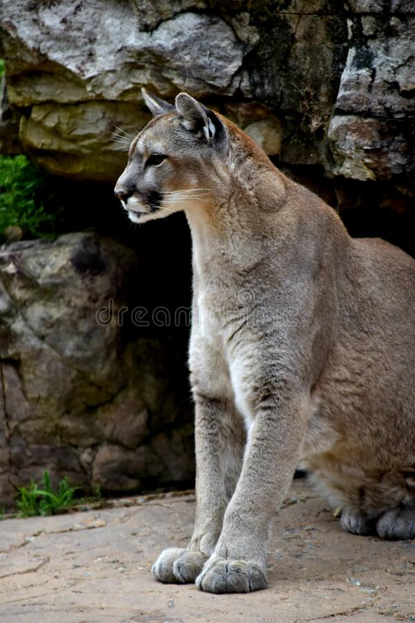 Side portrait of a mountain lion royalty free stock images