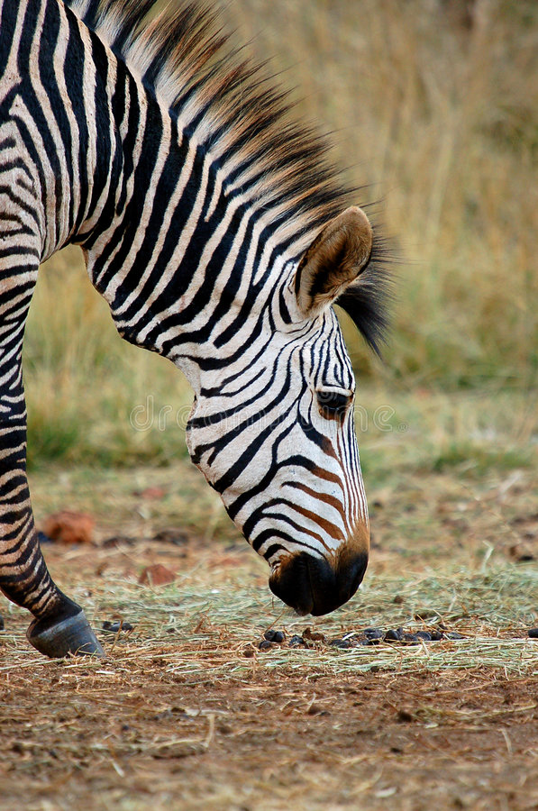 Side portrait of zebra royalty free stock photography