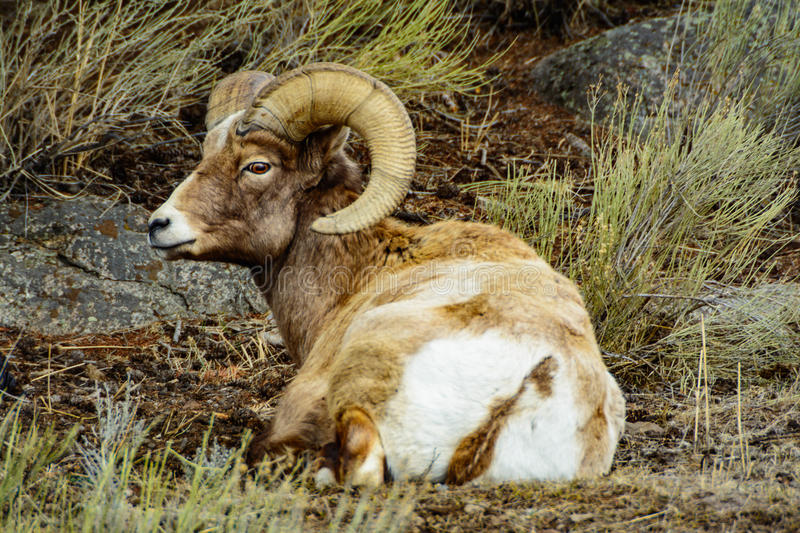 Side Profile of a Big Horn Ram royalty free stock photography