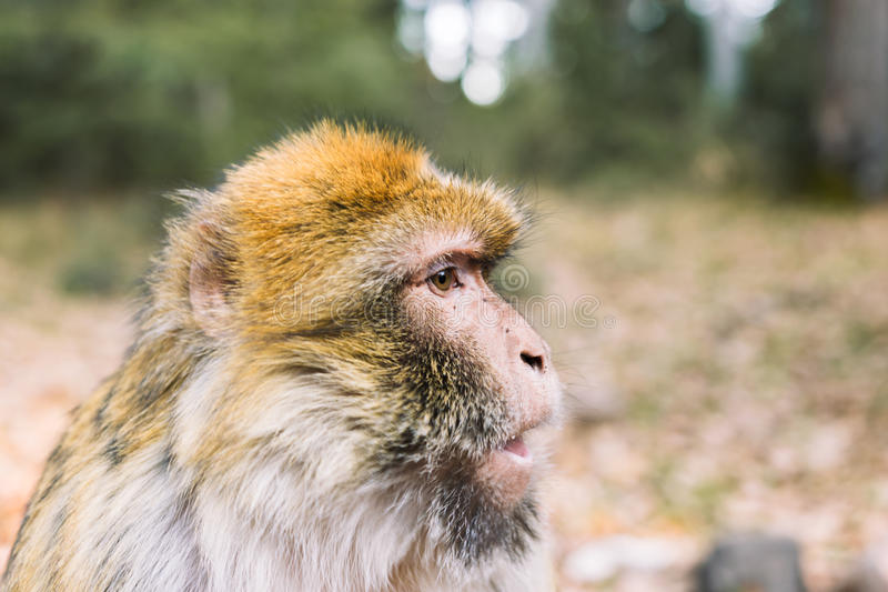 Side profile of the face, barbary macaque monkey, Ifrane, Morocco. Wildlife shot of a barbary macaque monkey`s side profile of the face at the National Park of royalty free stock image