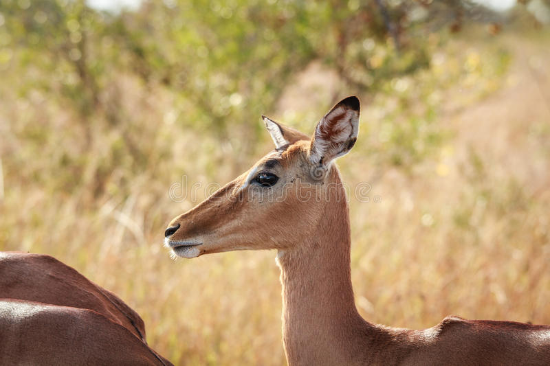 Download Side Profile Of A Female Impala. Stock Photo - Image: 83722054