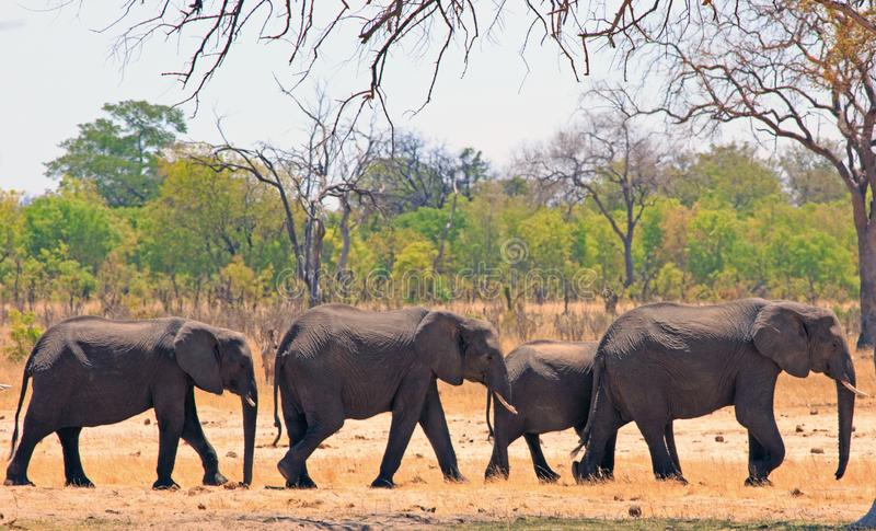 Line of elephants walking along the edge of a dried up waterhole with a bushveld background in Hwange National Park royalty free stock photo