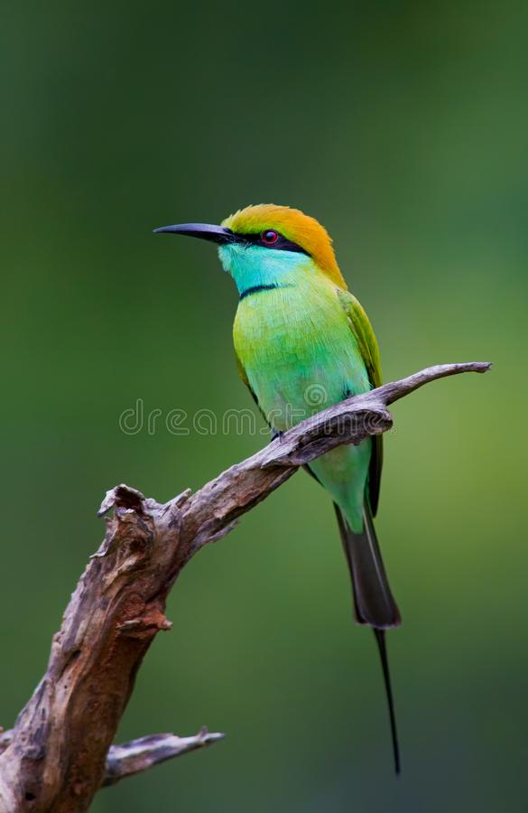 Side profile of a Green bee-eater royalty free stock photo
