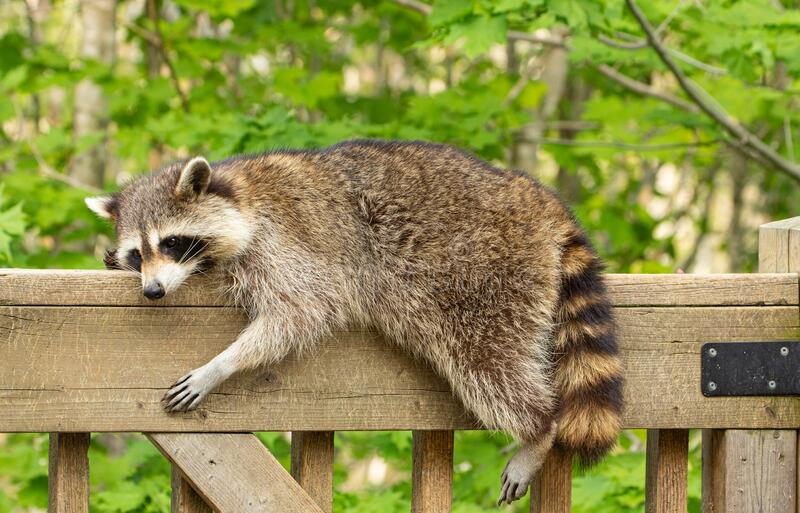 Side profile of a mother raccoon lying on a deck railing. stock images