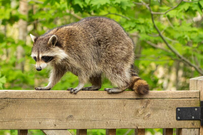Side profile of a mother raccoon perched on a deck railing. royalty free stock photo