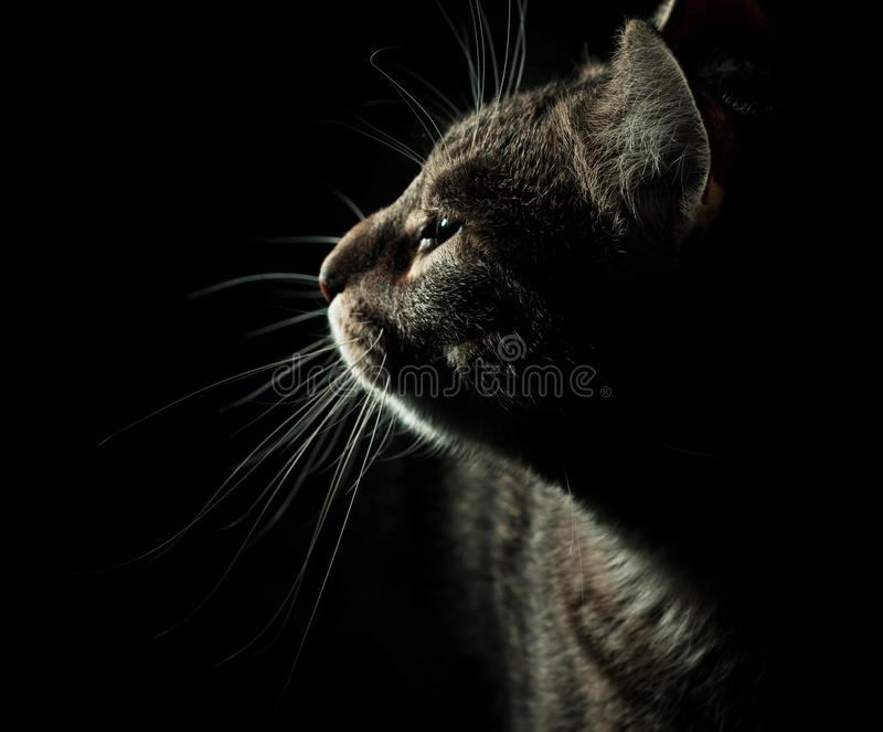 Side profile portrait of cat royalty free stock images