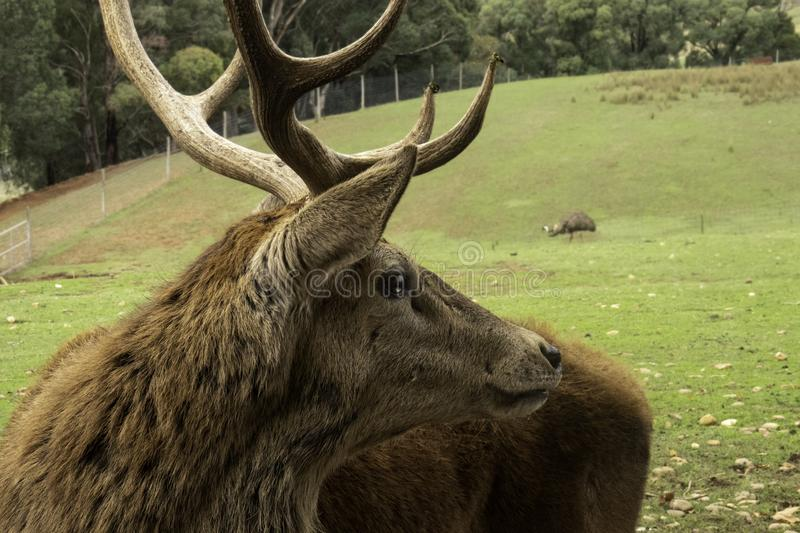 Side profile of stag with large horns stock photography