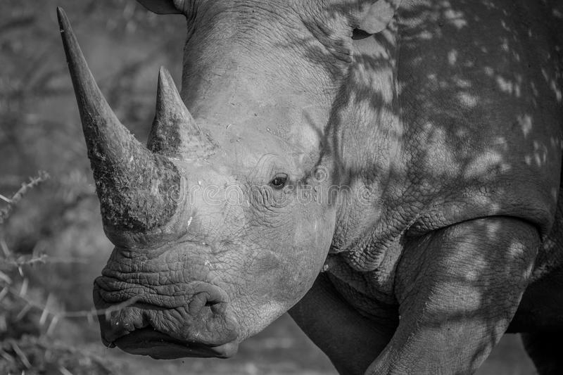 Side profile of a White rhino. Side profile of a White rhino in black and white in South Africa stock images
