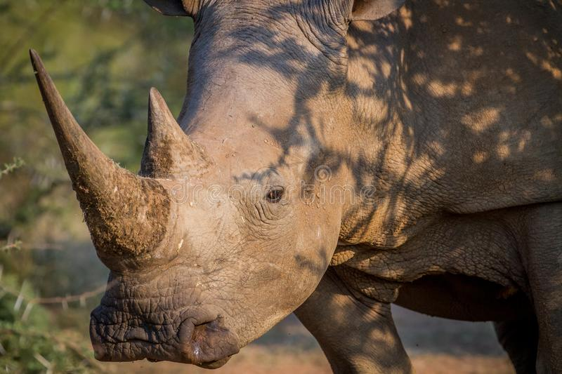 Side profile of a White rhino. Side profile of a White rhino in South Africa stock photography