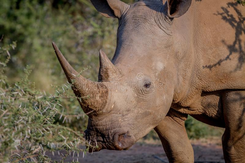Side profile of a White rhino. Side profile of a White rhino in South Africa stock images