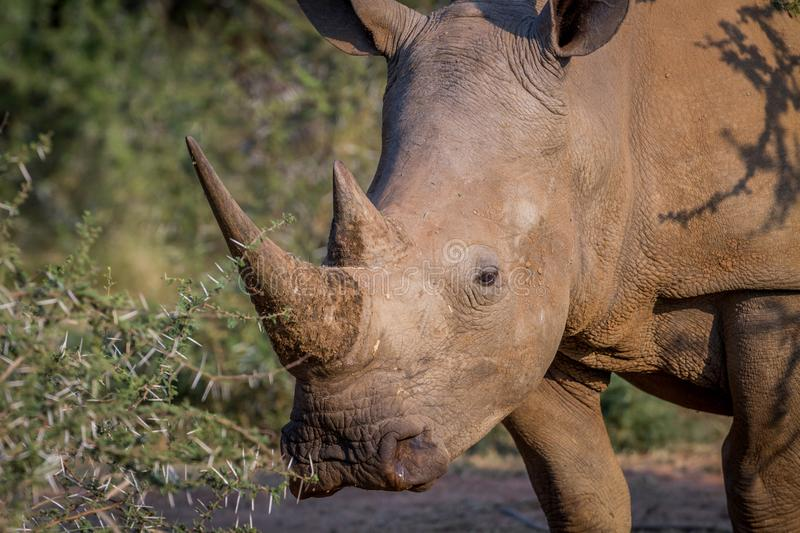 Side profile of a White rhino. Side profile of a White rhino in South Africa royalty free stock photo