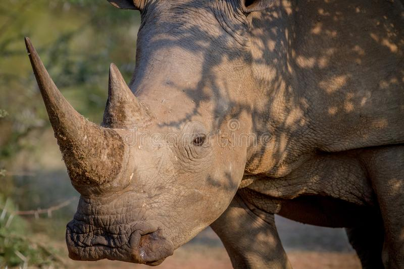 Side profile of a White rhino. Side profile of a White rhino in South Africa royalty free stock photography