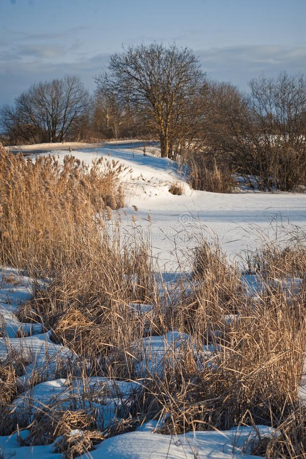 Winter landscape with reeds at the side of the road 1012. Side of the road overgrown with reeds royalty free stock images