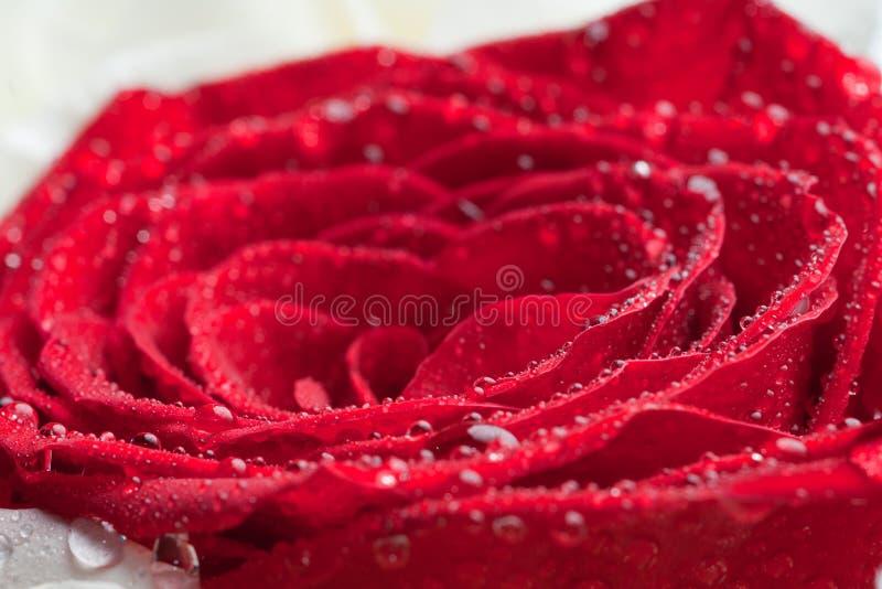 Download Side Shot Of A Scarlet Red Rose Stock Images - Image: 22729204