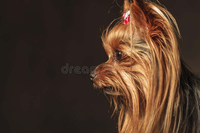 Side view of an adorable yorkie puppy looking to something royalty free stock image