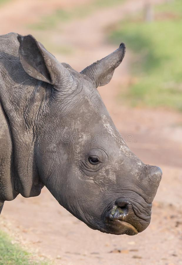 Side view of an alert young white rhinoceros royalty free stock photos