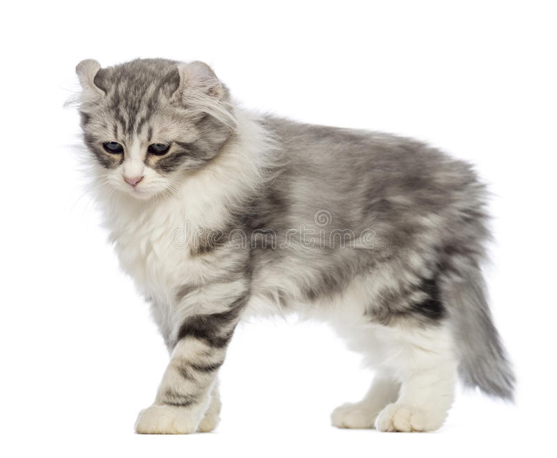 Side view of an American Curl kitten, 3 months old royalty free stock photo