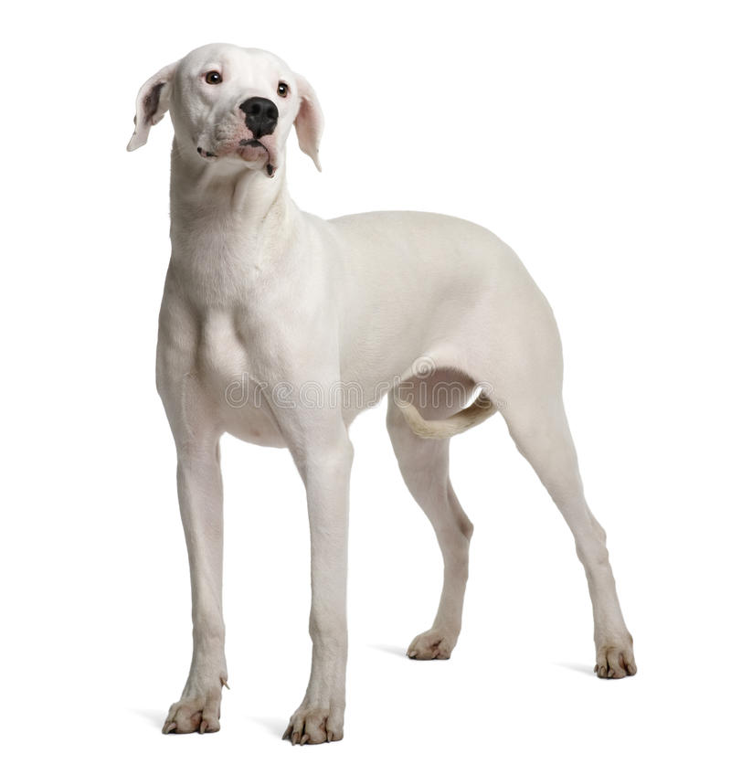 Side view of Argentine Dogo, standing
