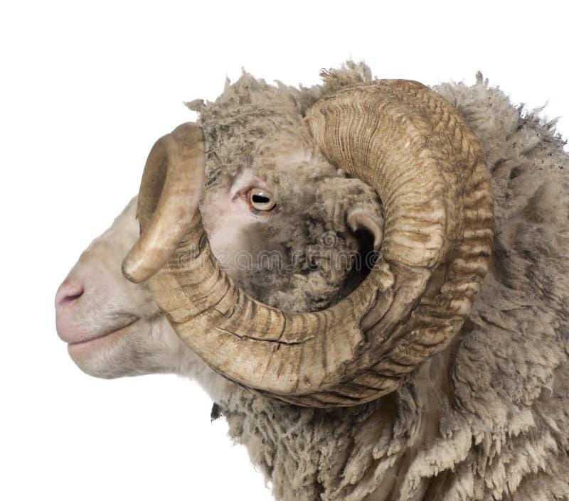 Side view of Arles Merino sheep, ram, 5 years old royalty free stock photos