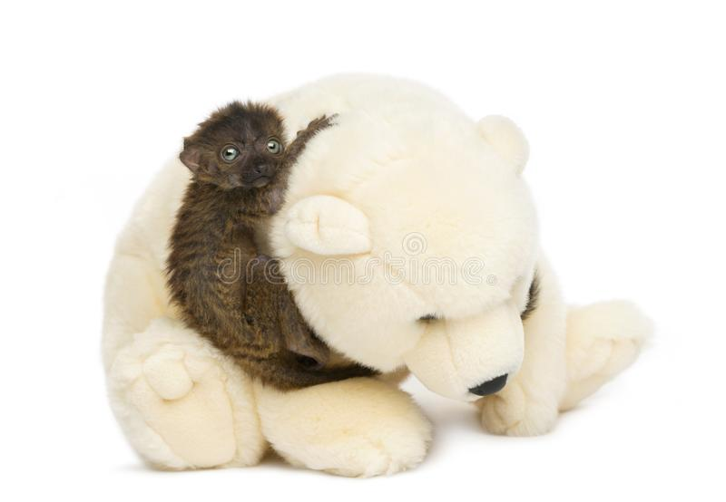 Side view of baby blue-eyed black lemur holding to a teddy bear royalty free stock photo