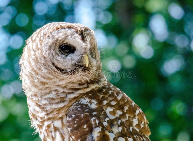 Side view of a Barred owl stock images